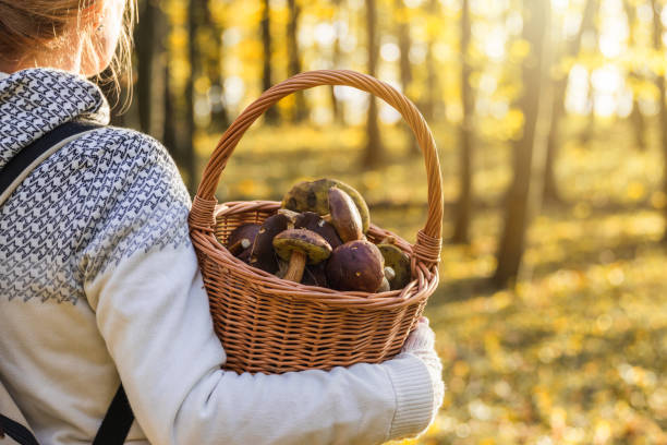 Woman with mushrooms in wicker basket in autumn forest. stock photo