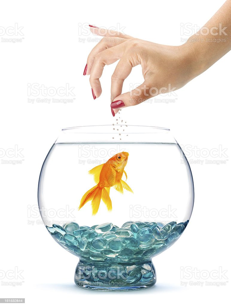A woman with red nails feeding her goldfish  royalty-free stock photo