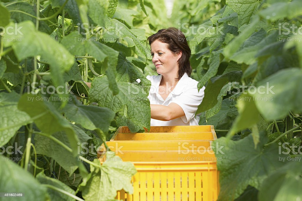 Woman working in a glasshouse, picking cucumber royalty-free stock photo