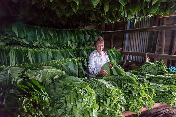 Woman working in tobacco dryer, Cuba - foto de stock