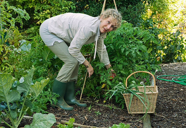 Woman working in vegetable garden Constantia, Cape Town, South Africa bending stock pictures, royalty-free photos & images
