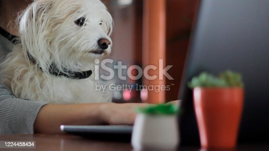 Woman working on computer with sweet dog on her lap