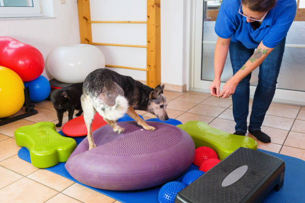 woman works with an Australian Cattledog in an animal physiotherapy office stock photo