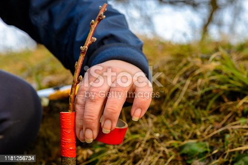 Woman wraps a graft tree with an insulating tape in the garden to detain the damp in it in close-up 2019