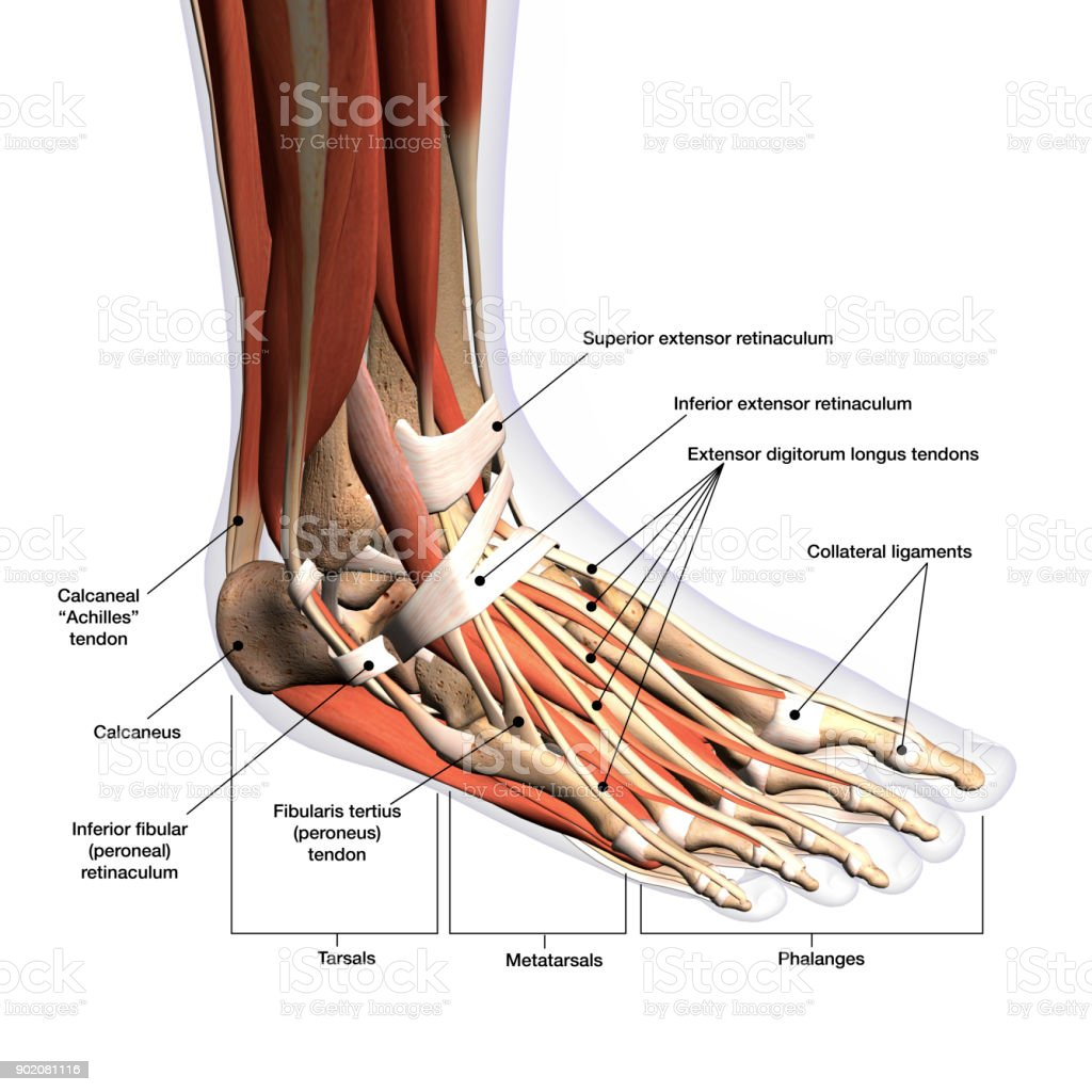 Womans Foot Anatomy Labeled Xray View On White Stock Photo & More ...