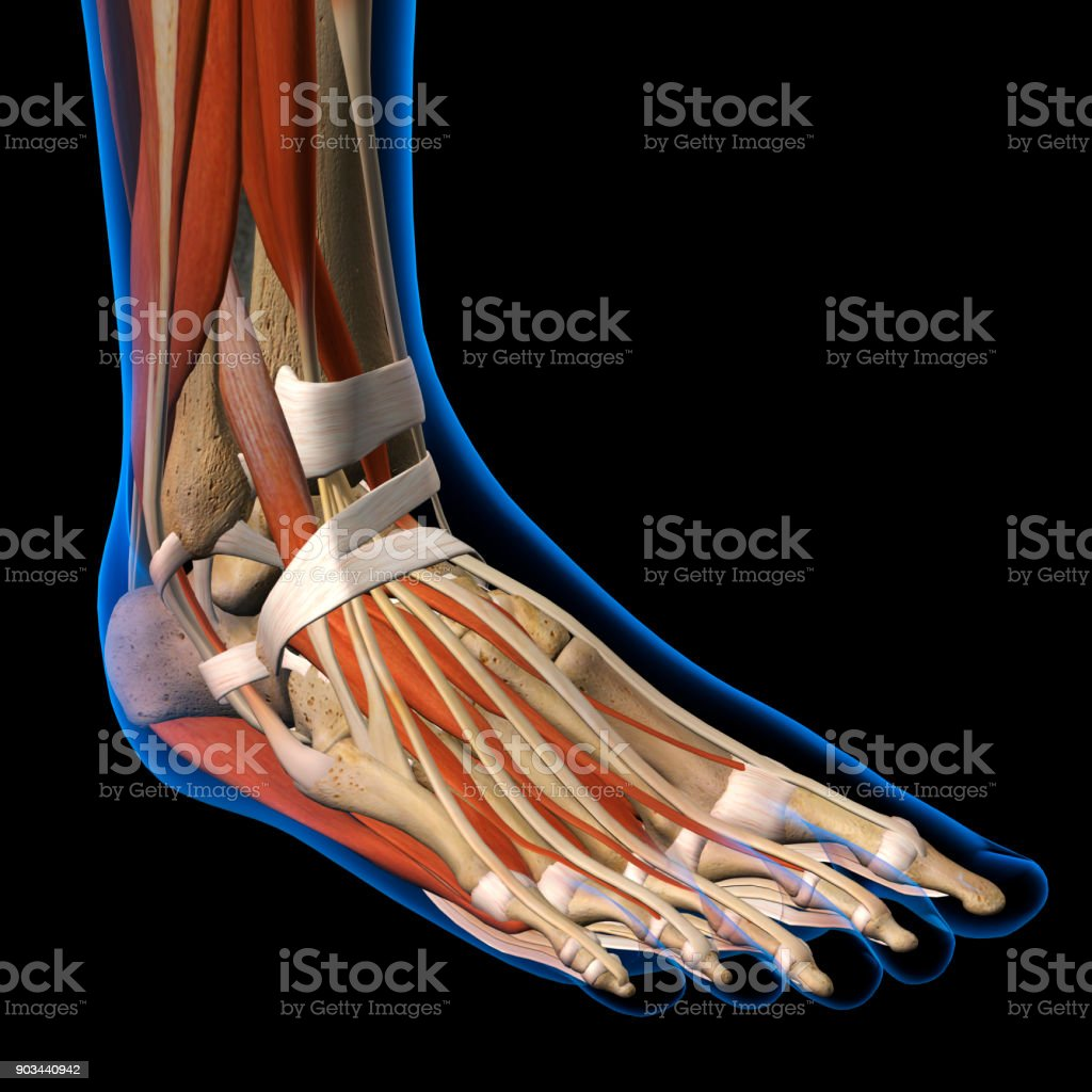 Womans Foot Anatomy Xray View On Black Stock Photo & More Pictures ...