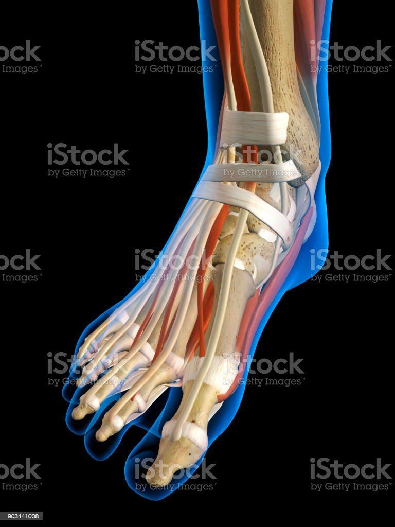 Womans Foot Anatomy Xray View On Black Stock Photo More Pictures