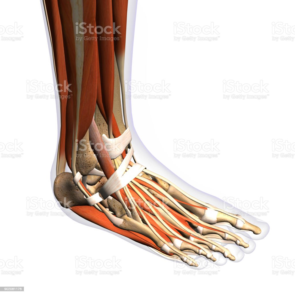 Womans Foot Anatomy Xray View On White Stock Photo More Pictures