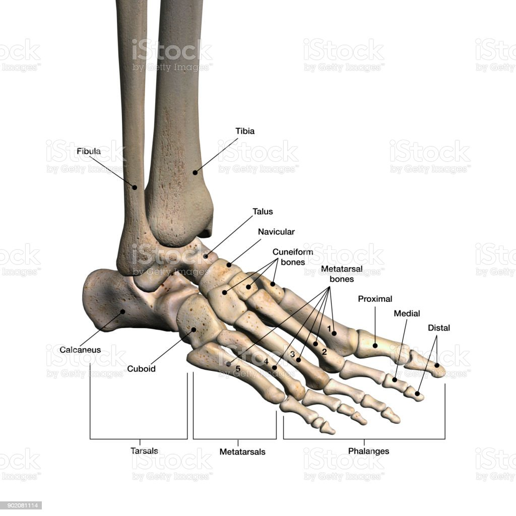 Woman's Foot Bones Labeled on White stock photo
