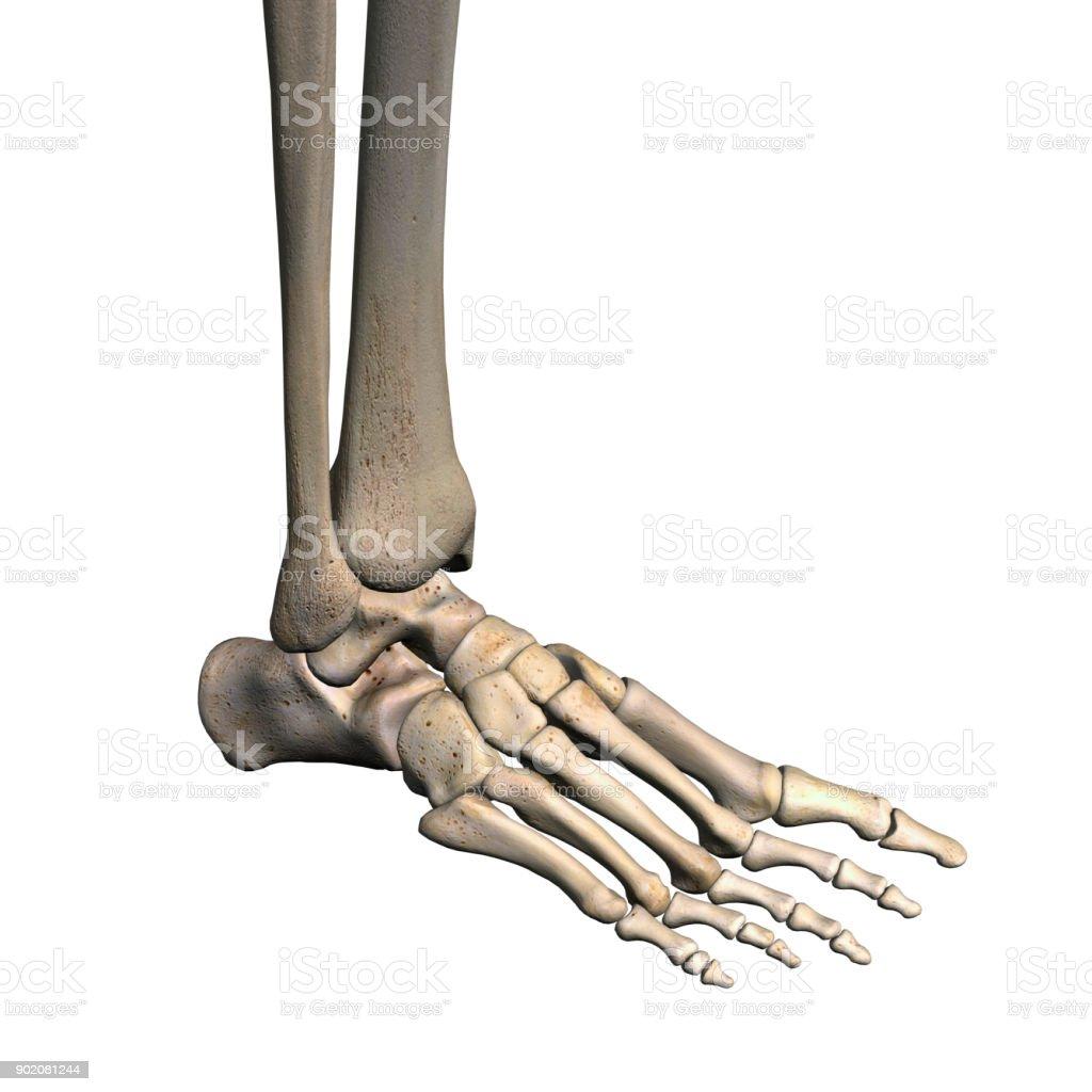 Woman's Foot Bones on White stock photo