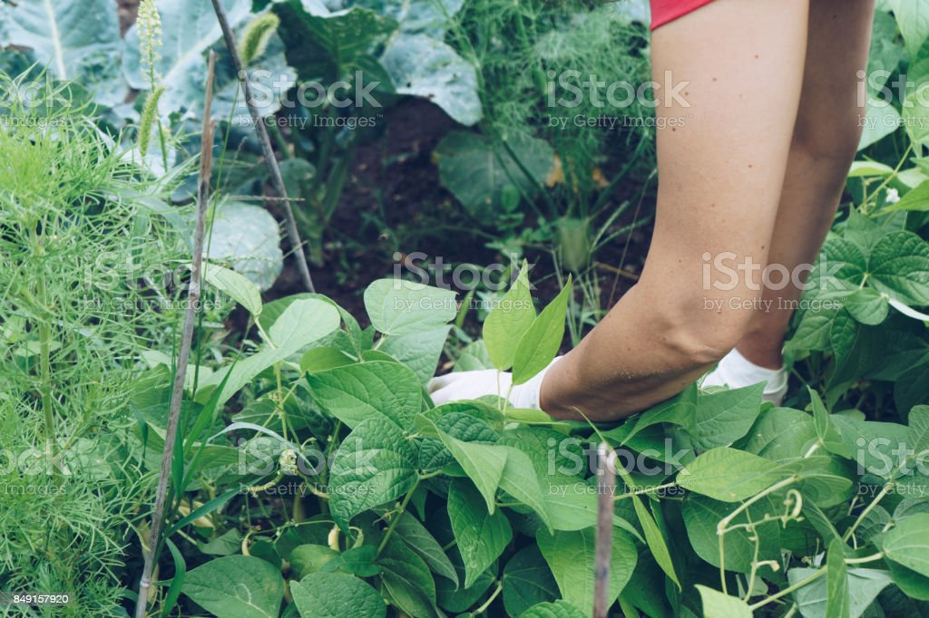 Womans hand harvesting fresh green beans, work in the garden