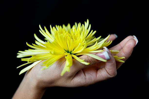 woman's hand holding a  yellow chrysanthemum stock photo