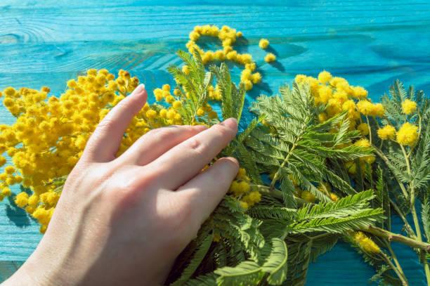 womans hand holding branch of mimosa flowers - immagini mimosa 8 marzo foto e immagini stock