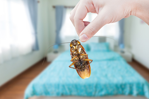 Womans Hand Holding Cockroach On Bedroom Background Eliminate Cockroach In Bedroom Stock Photo Download Image Now Istock
