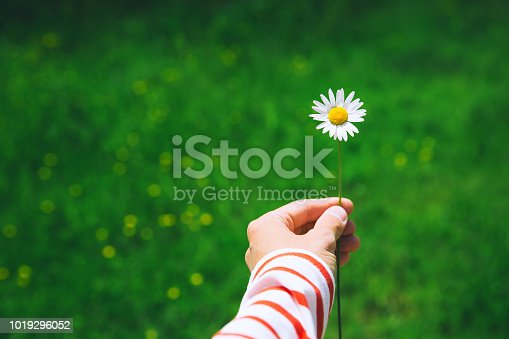 Woman's hand holds white chamomile on the green nature background
