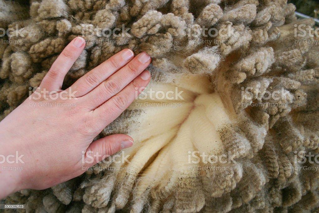 Woman's hand over merino wool stock photo