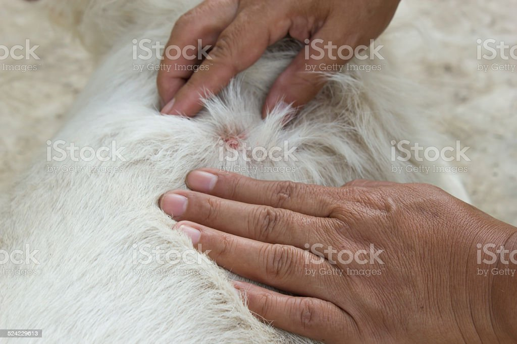 Woman's hand pick of an adult tick on dog fur. stock photo