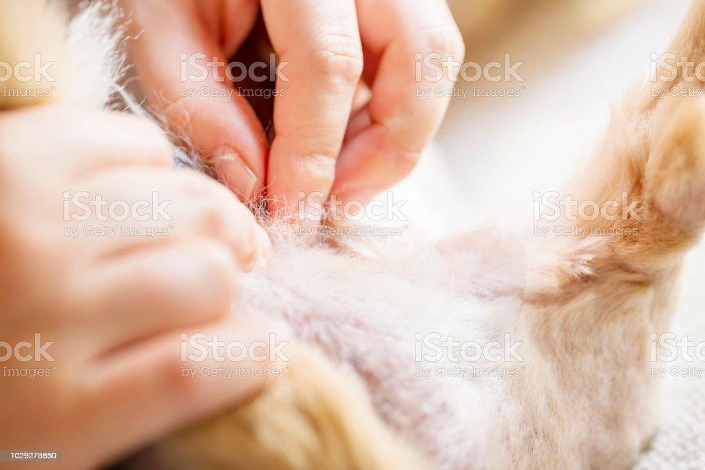 woman's hand pick of some tick on dog fur. Closeup stock photo