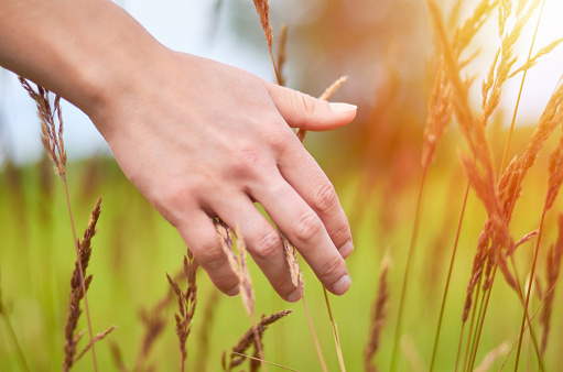 Woman's hand touch field grass and spikelets at sunset or sunrise. Rural and natural concept