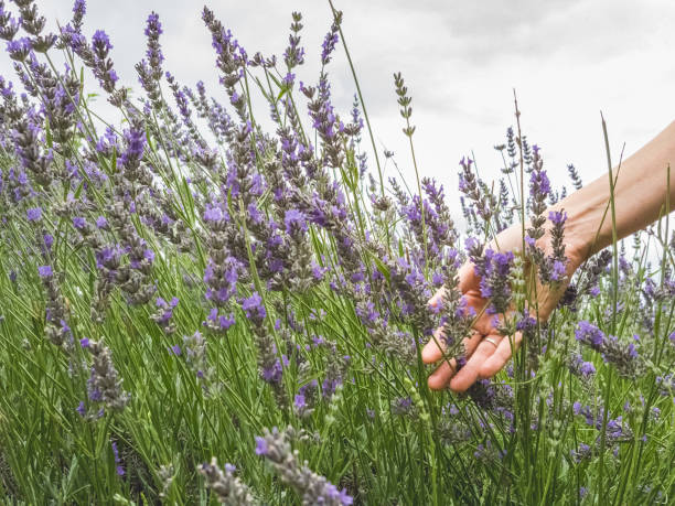 Woman's hand touching lavender, feeling nature stock photo