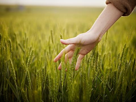 Woman's hand touching wheat in field
