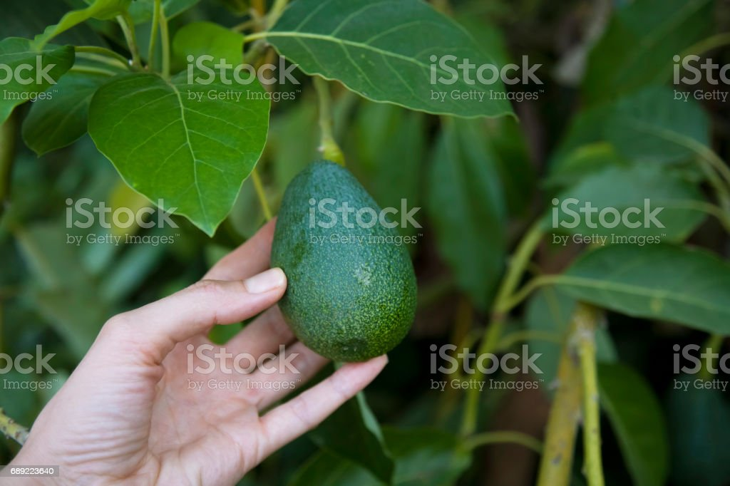 Weibes Hände Ernte frische Bio Avocado in ihrem Garten an einem sonnigen Tag. Landwirt Kommissionierung Avocado. Gemüseanbau. Gartenarbeit-Konzept – Foto