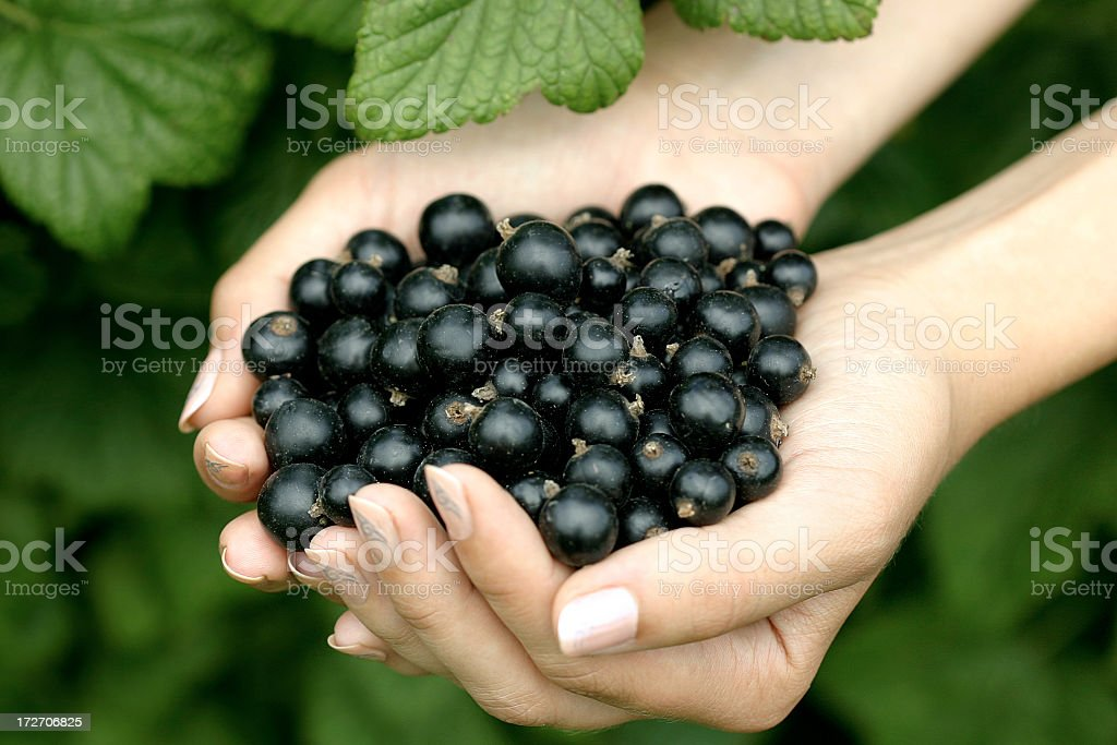A woman's hands holding black currants stock photo