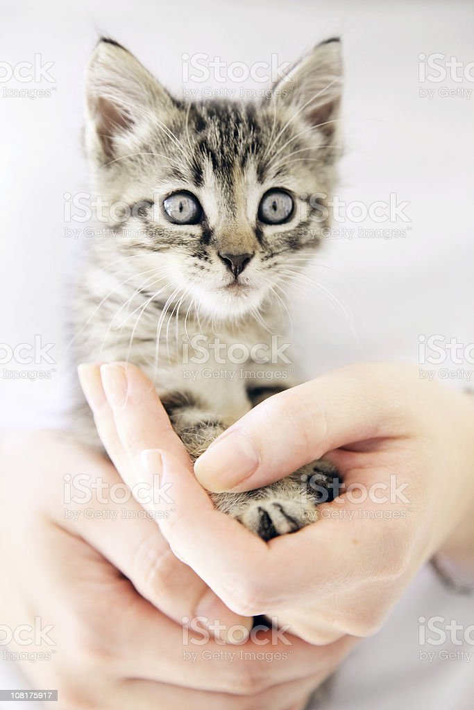 Woman's Hands Holding Tiny Kitten royalty-free stock photo