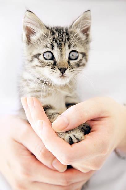 woman's hands holding kleines kätzchen - suche katze stock-fotos und bilder