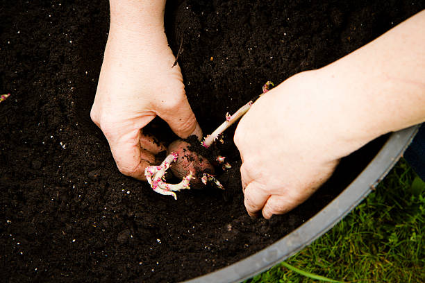Womans Hands Plant Potatoes In A Container Garden stock photo