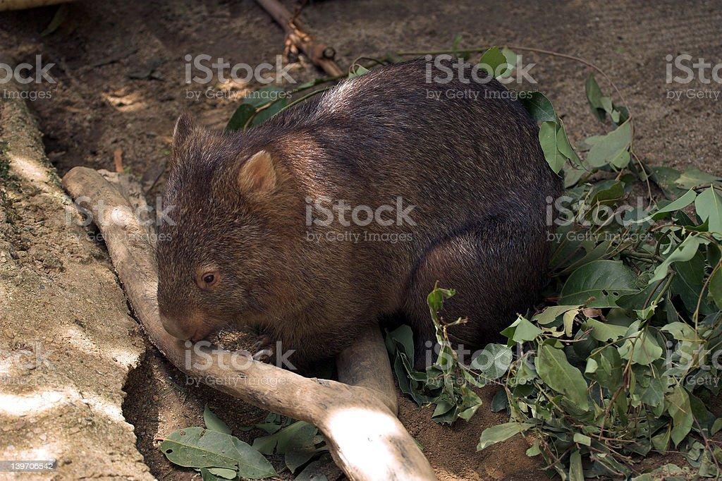Wombat, Australia royalty-free stock photo