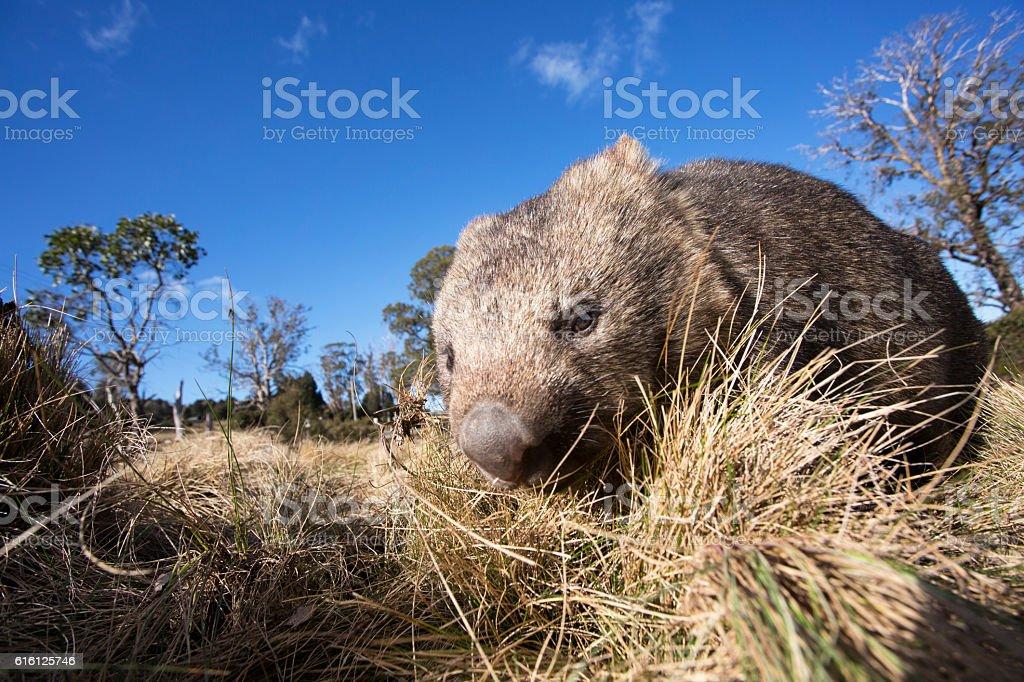 Wombat Australia – Foto