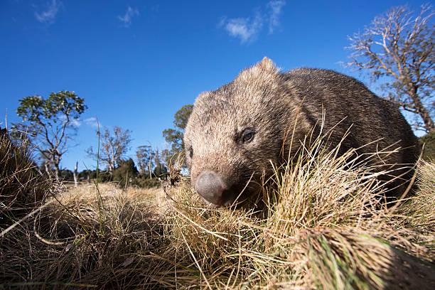 wombat australia - wombat stock photos and pictures