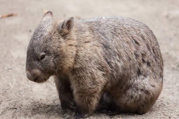 wombat, australia - wombat stock photos and pictures
