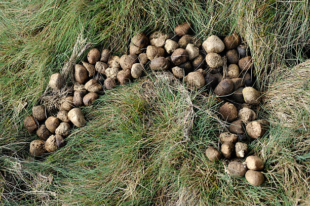 wombat dung - wombat stock photos and pictures