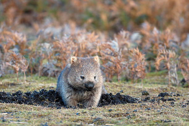 wombat feeding - wombat stock photos and pictures