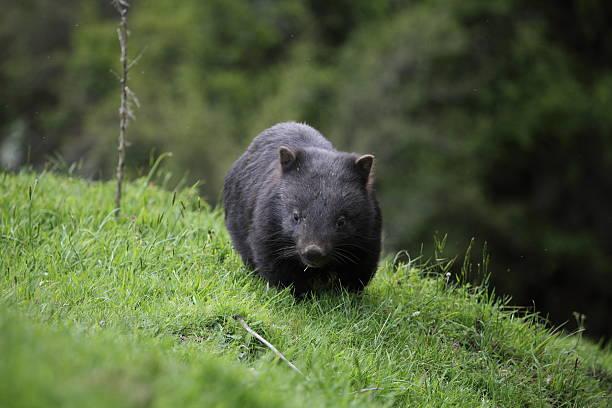 wombat in australia - wombat stock photos and pictures