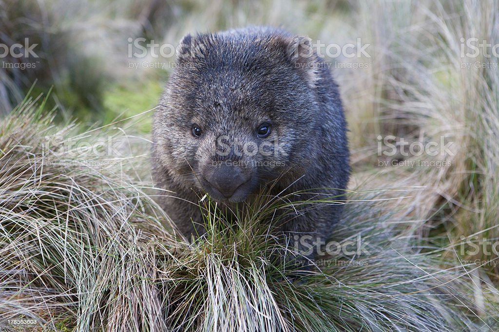 Wombat in grassland royalty-free stock photo