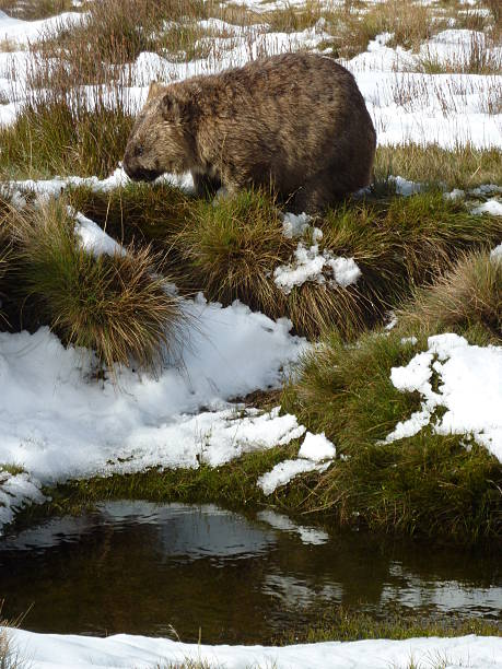 wombat in snow covered button grass at cradle mountain tasmania - wombat stock photos and pictures