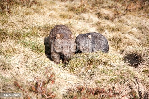 A mother and baby wombat in Tasmania Australia