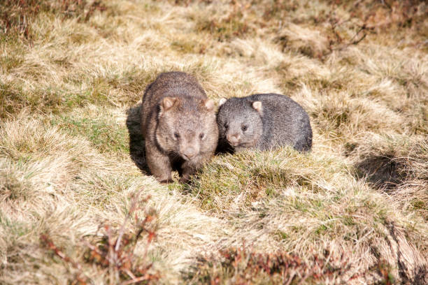 wombat mother and baby - wombat stock photos and pictures