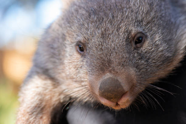wombat outside during the day. - wombat stock photos and pictures