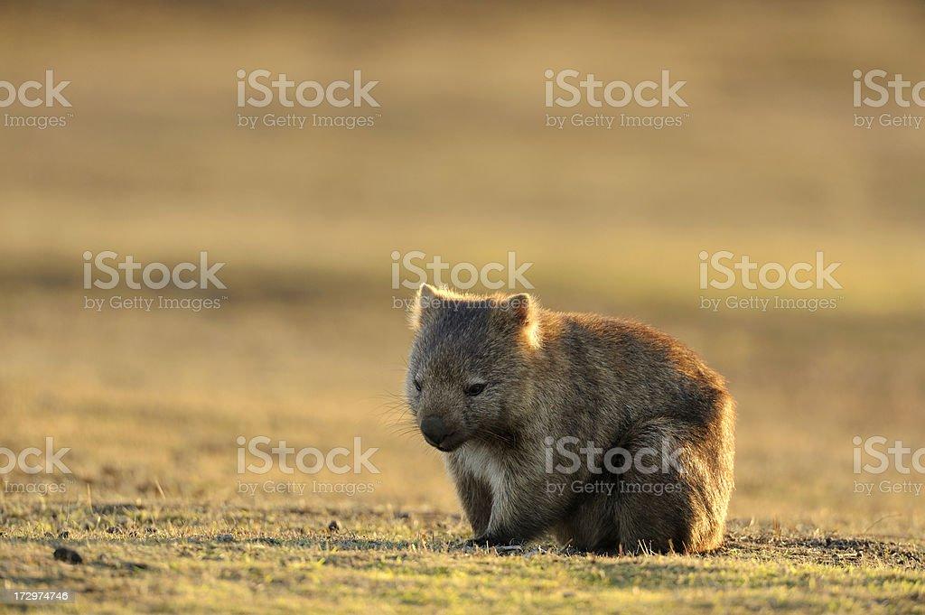 Wombat royalty-free stock photo