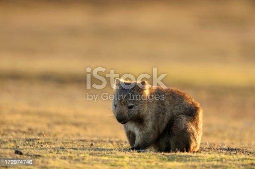 Wombat at Narawntapu national park in TasmaniaRelated images:
