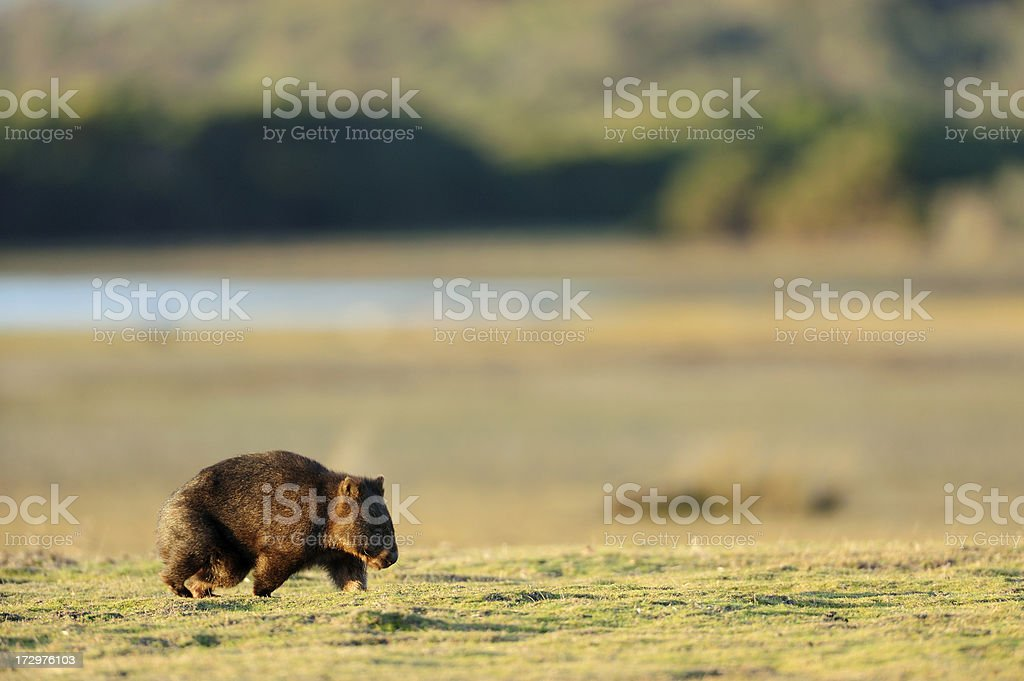 Wombat royalty-free stock photo