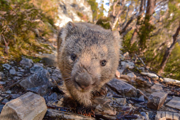 wombat - wombat stock photos and pictures