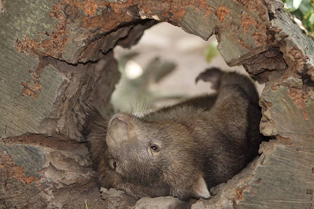 wombat resting - wombat stock photos and pictures