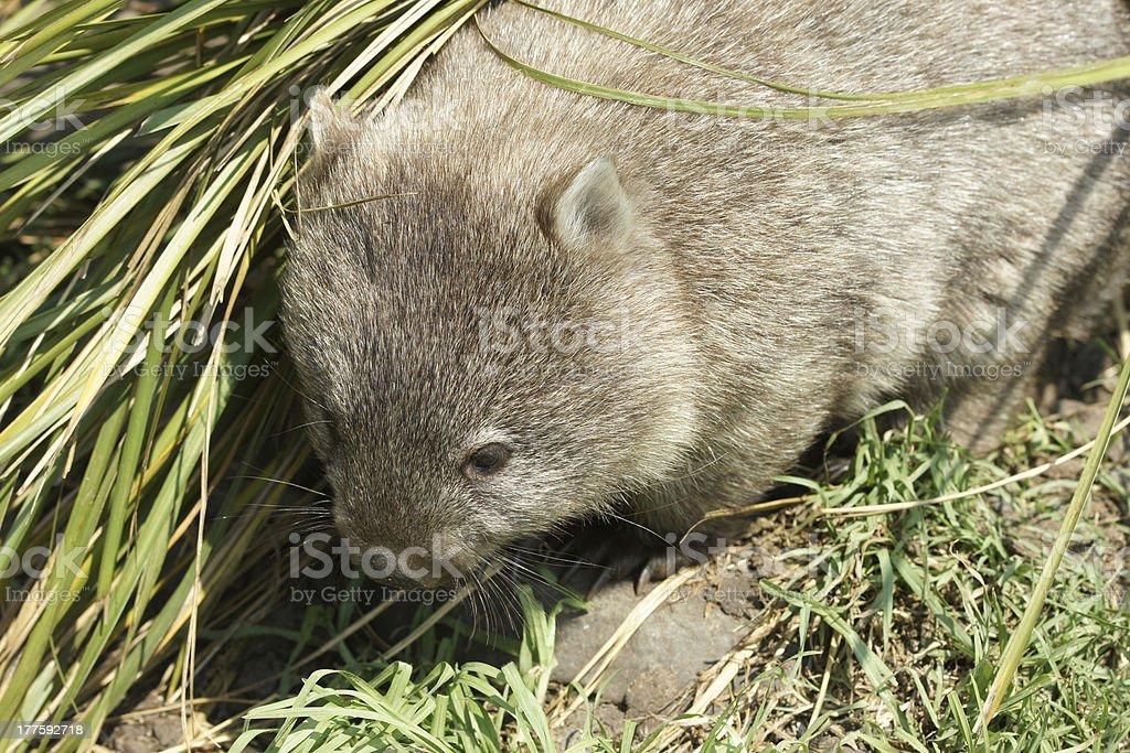 Wombat, Tasmania, Australia royalty-free stock photo