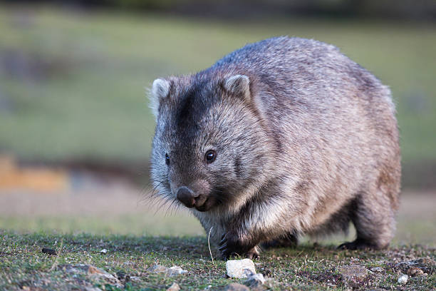 wombat walking over grassland, eyes and claws visible - wombat stock photos and pictures