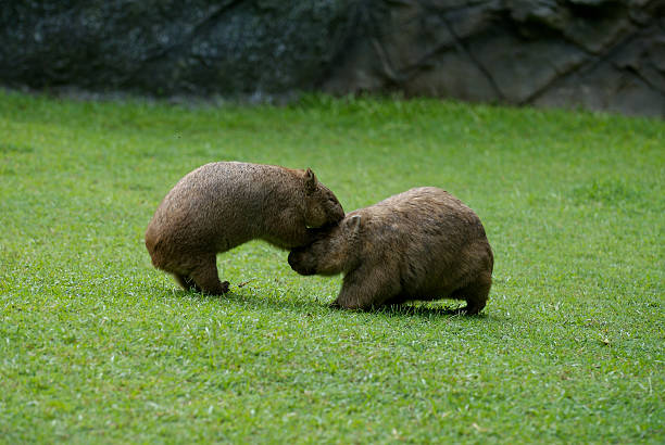 wombats - wombat stock photos and pictures